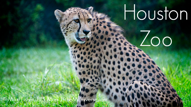 Houston Zoo Cheetah | The Momiverse | Flickr Photo by Mike Fisher, BFS Man | Article by Patti Morrow